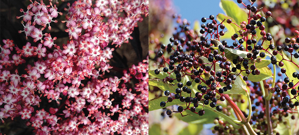 Elderberry flower and fruit